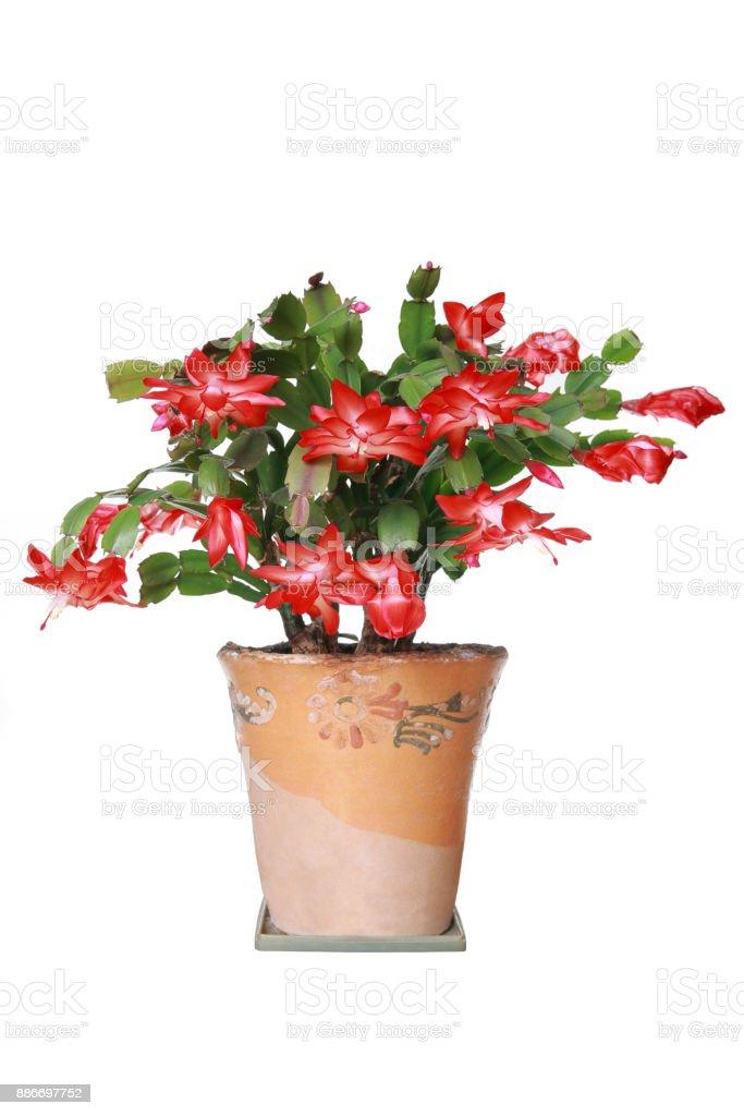 Schlumbergera flower stock photo