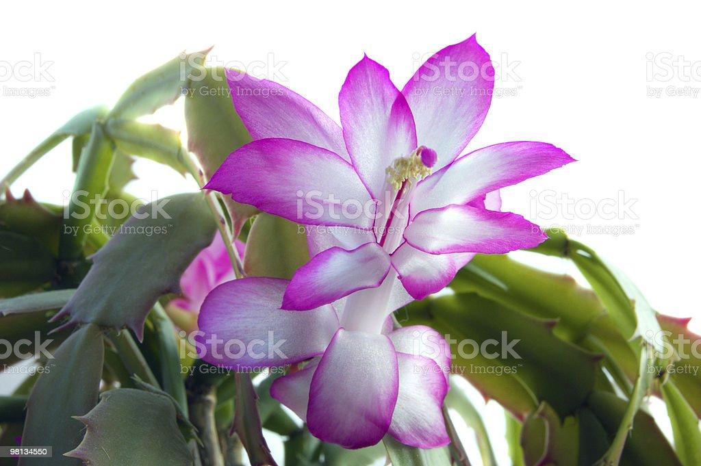 Schlumbergera flowers royalty-free stock photo