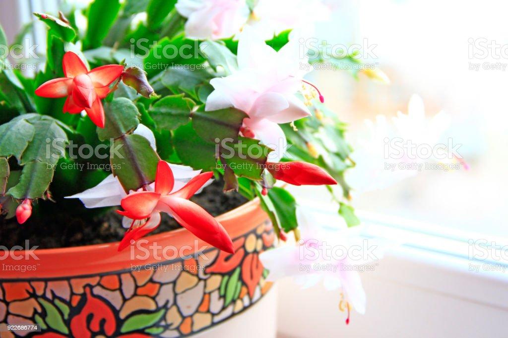 Schlumbergera red flowers. Christmas flowers stock photo