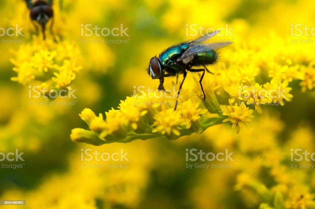 Schmeißflieg stock photo