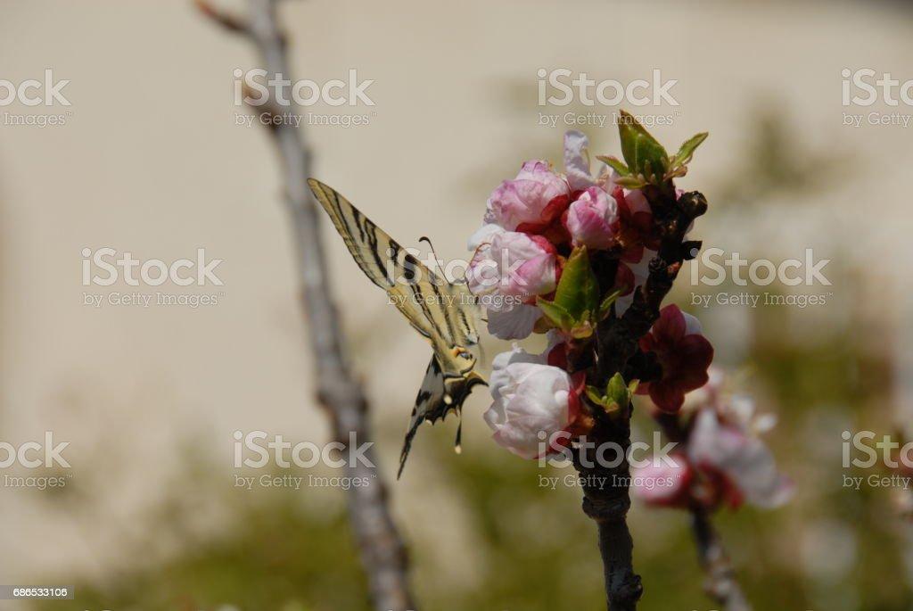 Schmetterling - Spanien foto stock royalty-free