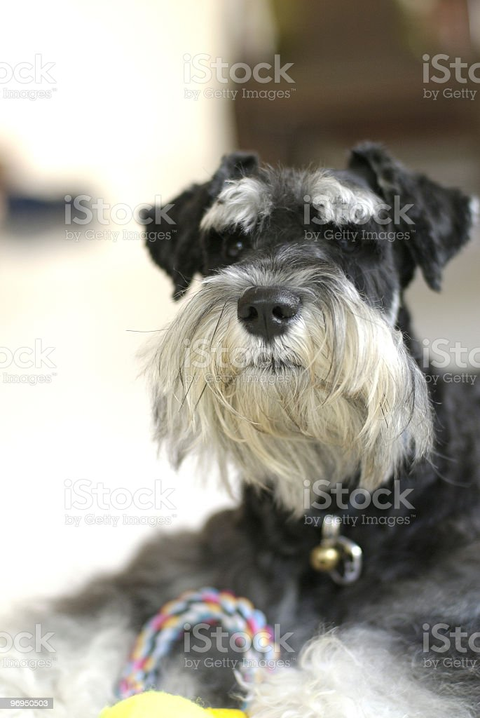 Schnauzer, 3 years old royalty-free stock photo