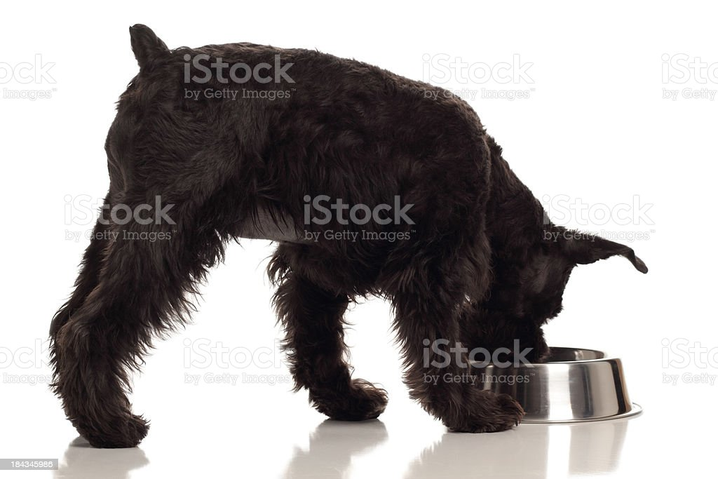 Schnauzer dog eating or drinking from dish stock photo