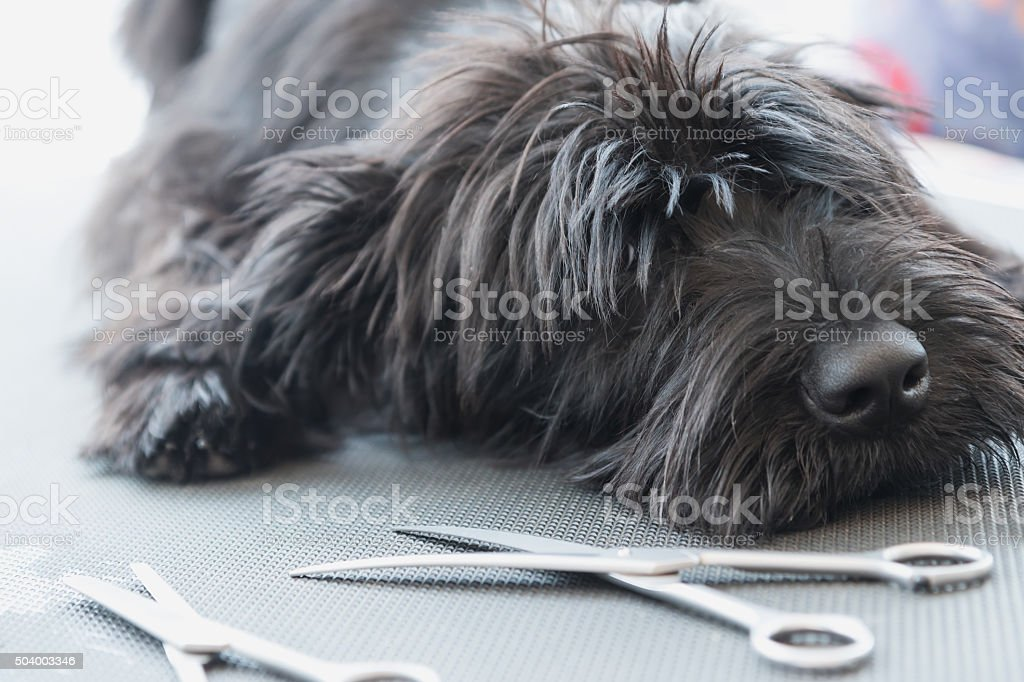 Schnauzer dog puppy lying on the grooming table stock photo