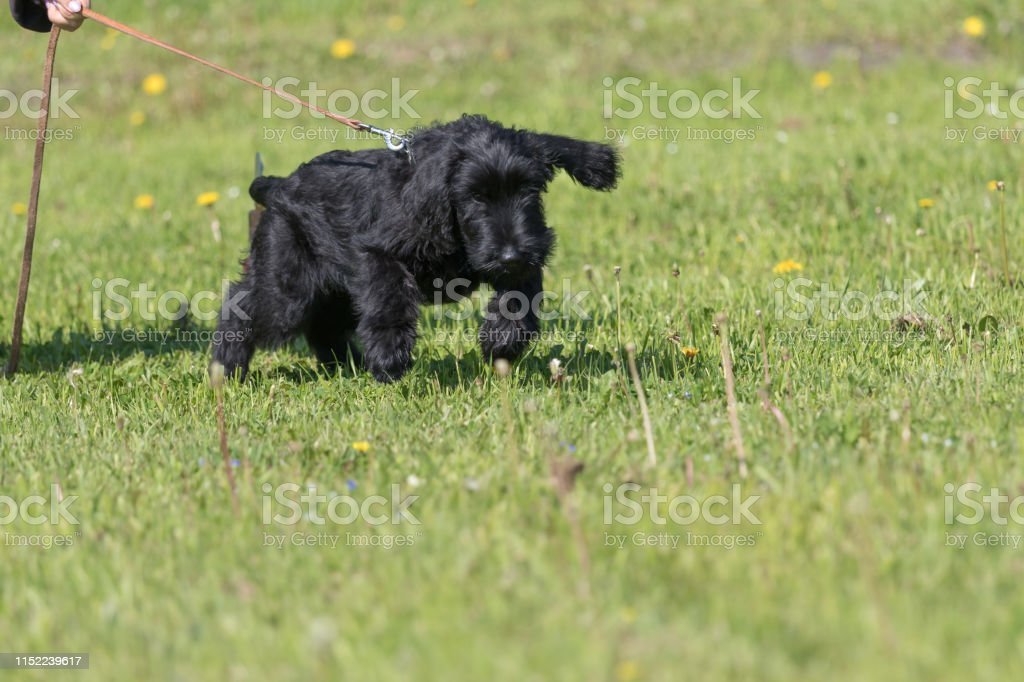 Schnauzer Dog Training Searching For Clues Stock Photo Download Image Now Istock