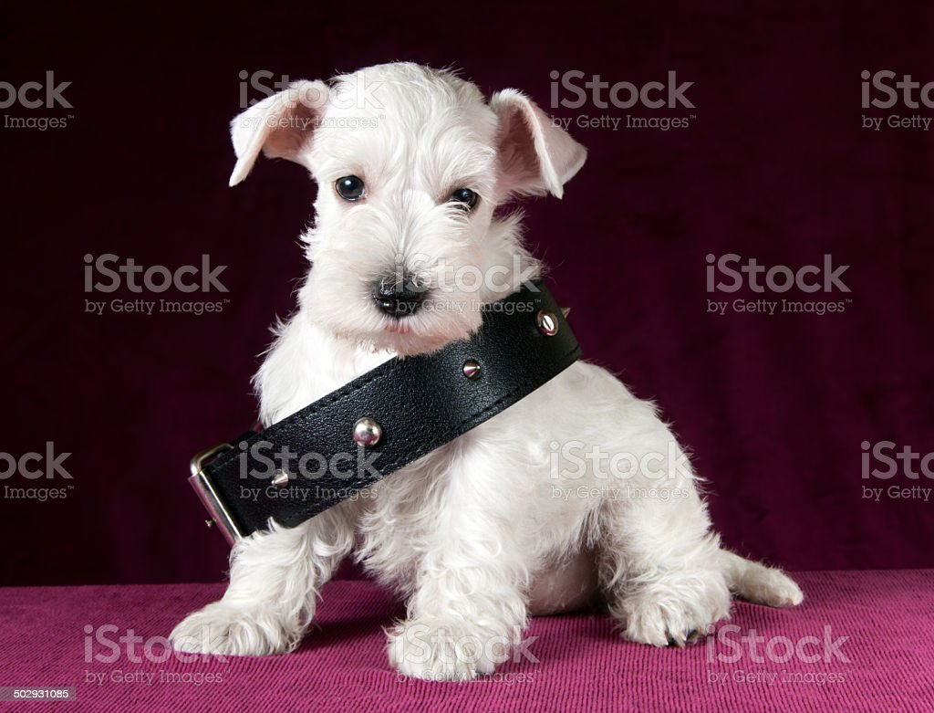 schnauzer puppy with dog collar stock photo