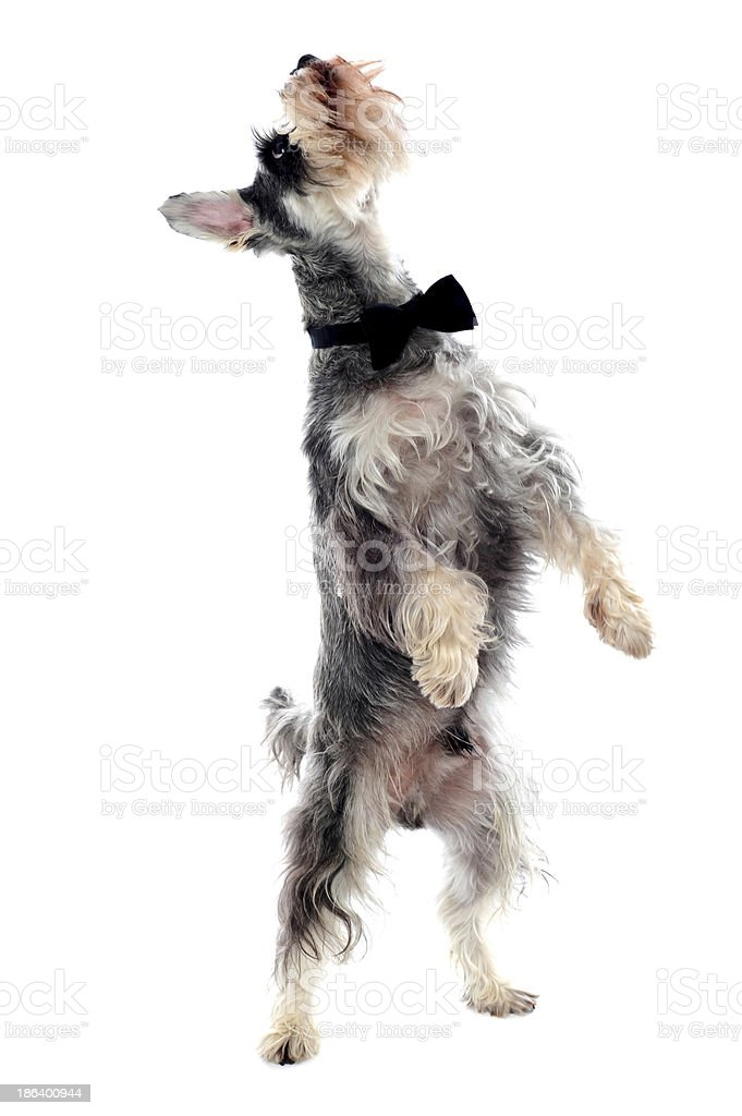 Schnauzer standing on two legs stock photo