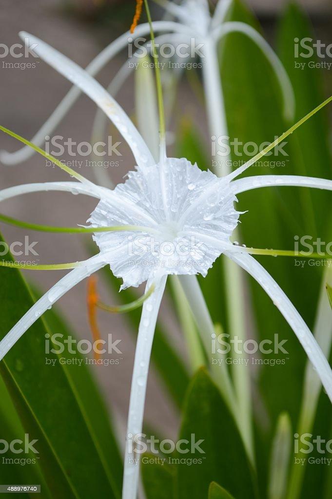 Schnhutchen Hymenocallis latifolia flower stock photo
