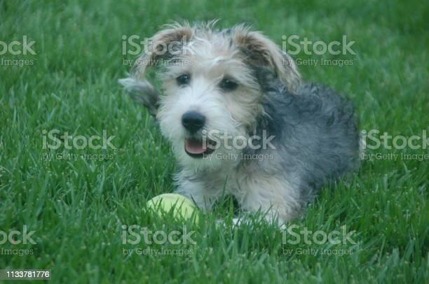 Schnoodle puppy picture id1133781776?b=1&k=6&m=1133781776&s=612x612&h=xevpyp d0oj vtmfbpg0cj iligjuxljrjuljcsivpc=