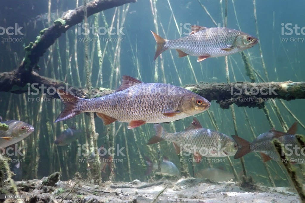 Schoal of roach in the lake stock photo