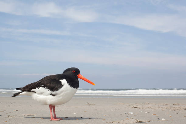 scholekster, oystercatcher, Haematopus ostralegus scholekster op het strand van Dune, Helgoland duitsland stock pictures, royalty-free photos & images