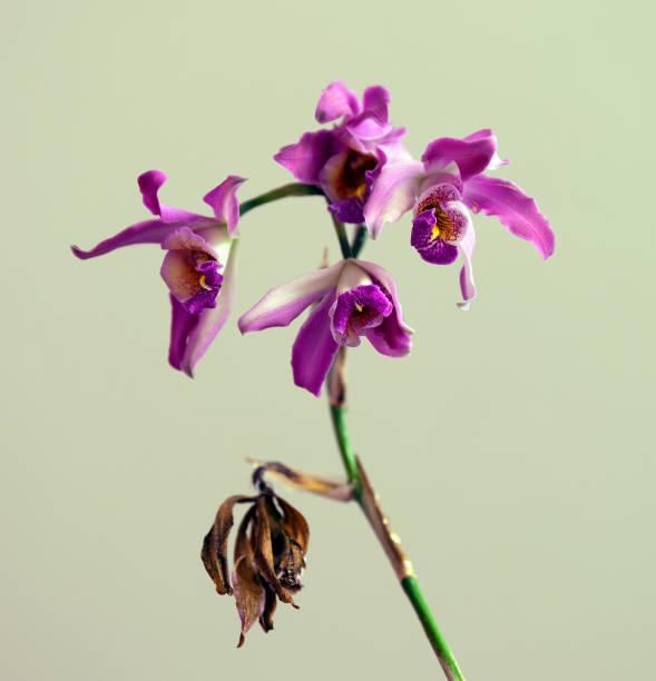Schomburgkia Sawyeri Orchid stock photo