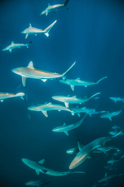 school of baby reef sharks swimming peacefully in clear blue water - cbd foto e immagini stock