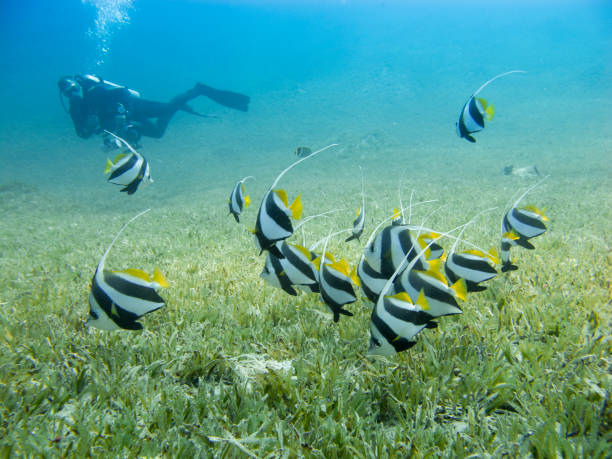 School of bannerfish swimming over the sea grass with clear blue sea and silhouette of a diver in the background. stock photo