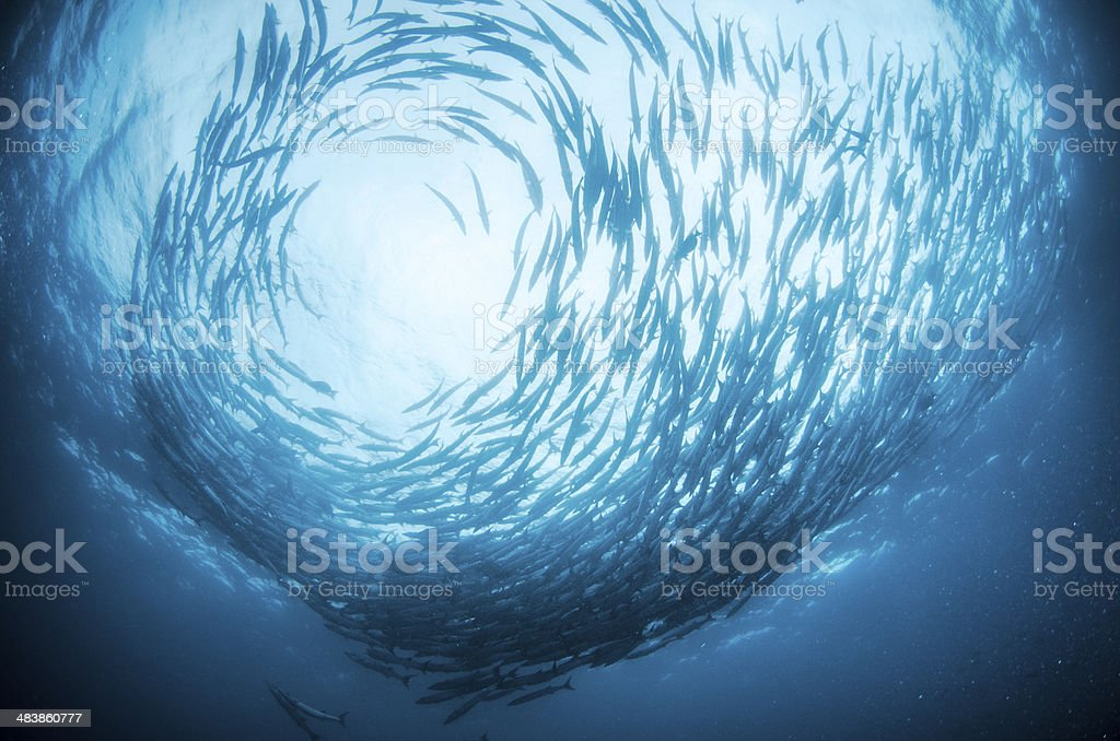 School of baracuda stock photo