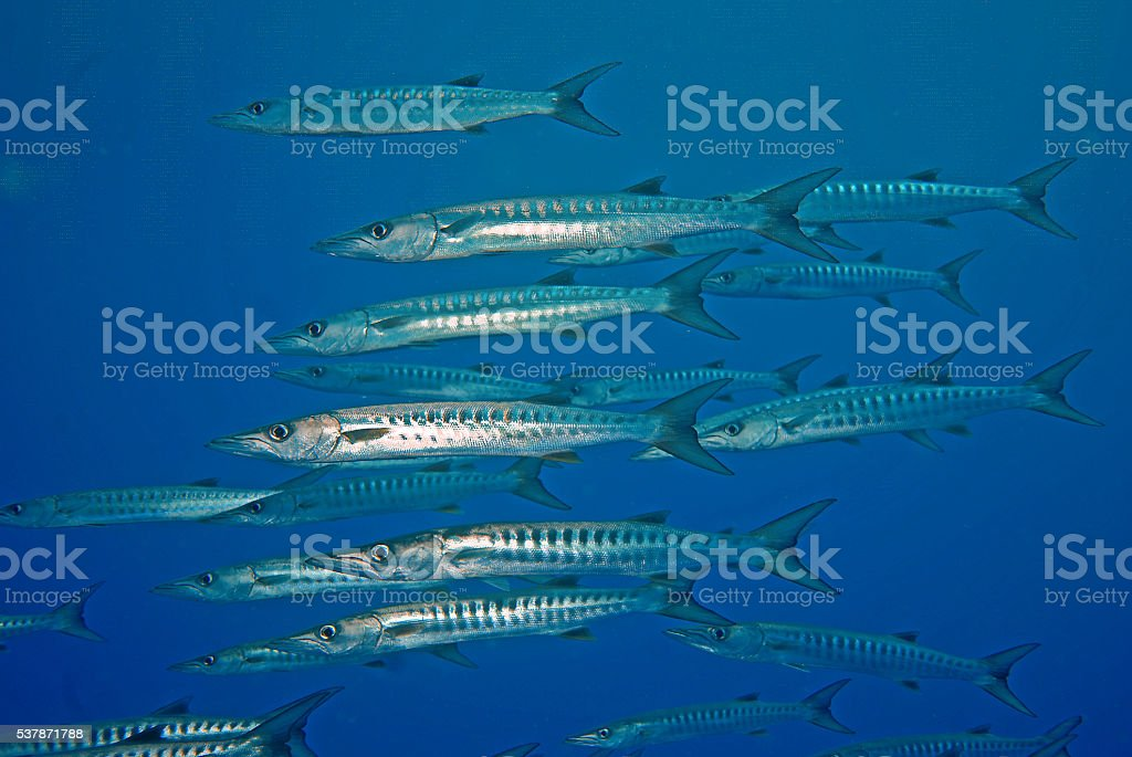 school of barakuda stock photo