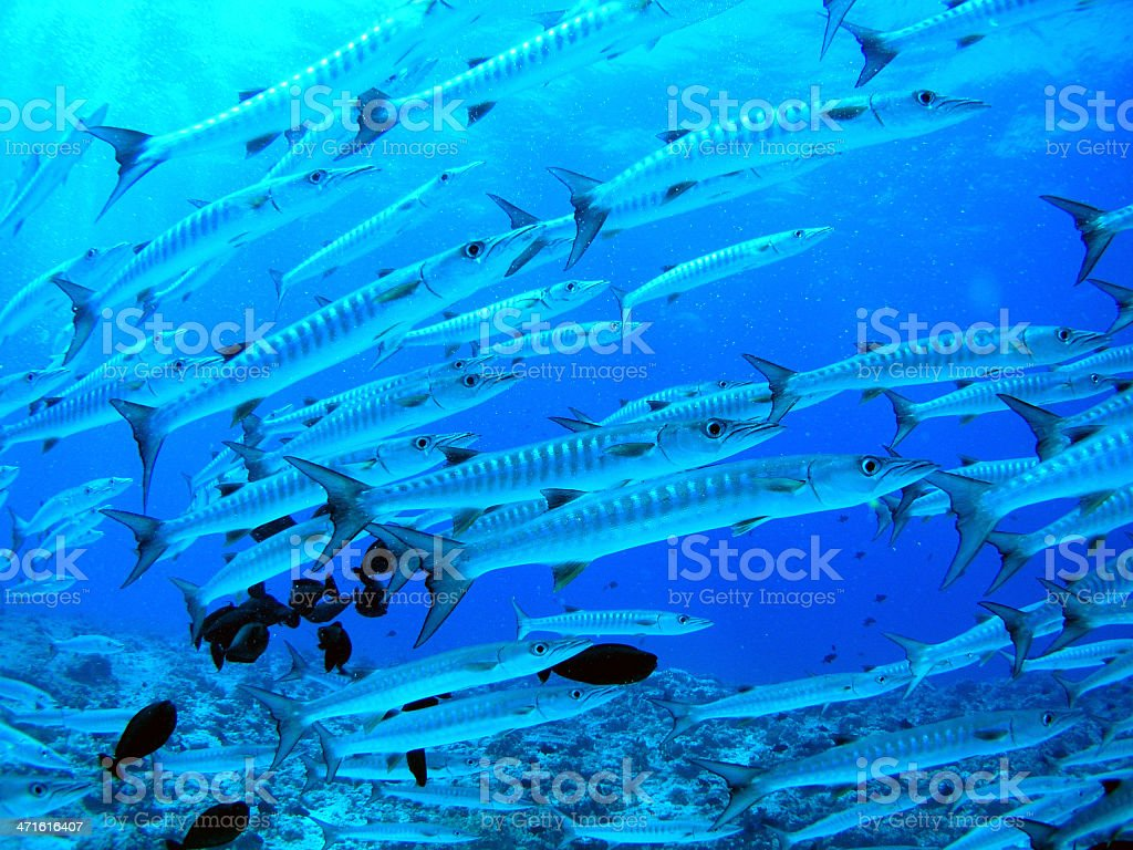 School of barracudas stock photo
