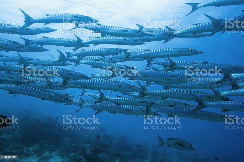 School of barracudas underwater stock photo