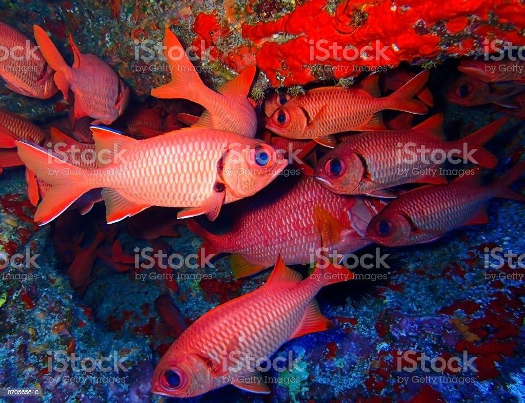 School of Big Eyed Red Fish Underwater stock photo