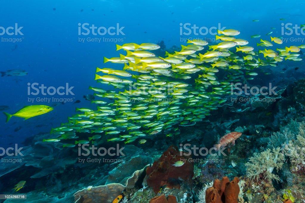 school of bigeye snapper fish stock photo