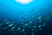 Large school of Bigeye Trevally Caranx sexfasciatus, the species occurs in the tropical Indo-Pacific in a depth range from 0-146m, forming slow-moving schools during the day, dispersing at night feed, mainly on fish and crustaceans, common size is 60cm, max. 1.2m. Raja Ampat, Indonesia, 0°30'23 \