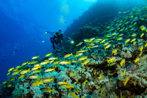 school of black and yellow longspot snapper fish stock photo