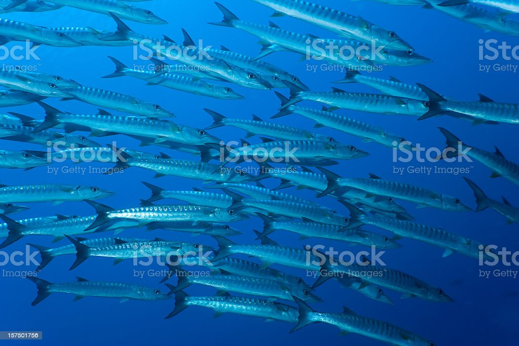 School of Blackfin Barracuda in the big blue Indonesian ocean royalty-free stock photo