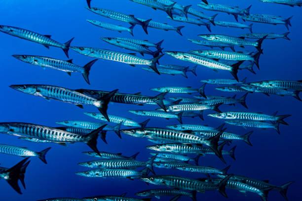 School of Blackfin Barracuda Sphyraena qenie in the Deep, Manuk Island, Banda Sea, Indonesia stock photo