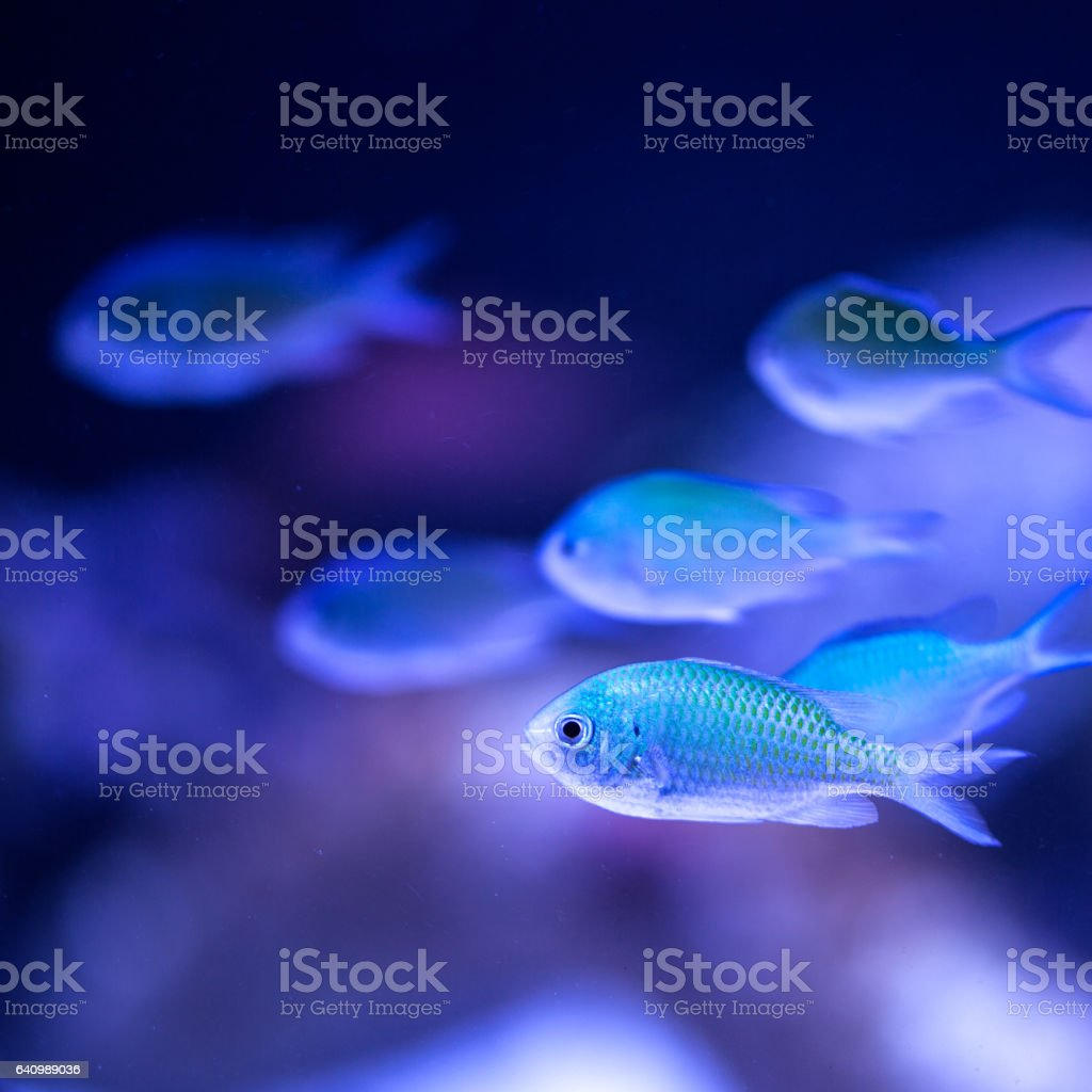 School of blue Chromis Viridis saltwater fish. stock photo