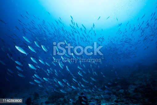 School of blue Indian Mackerel underwater along the dive site main marine life resources under the sea , Baa Atoll, Maldives.