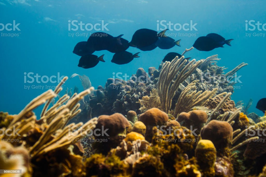 School of blue tang stock photo