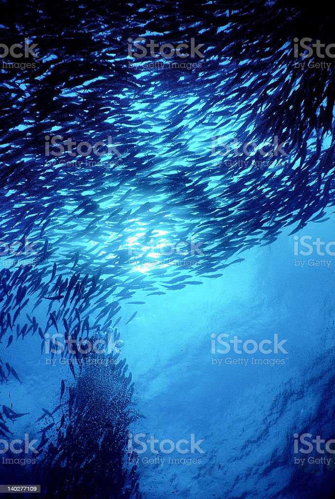 School of Bonito royalty-free stock photo