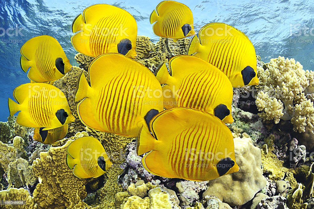 School of Butterflyfishes stock photo