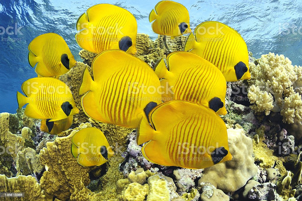 School of colorful reef fishes stock photo