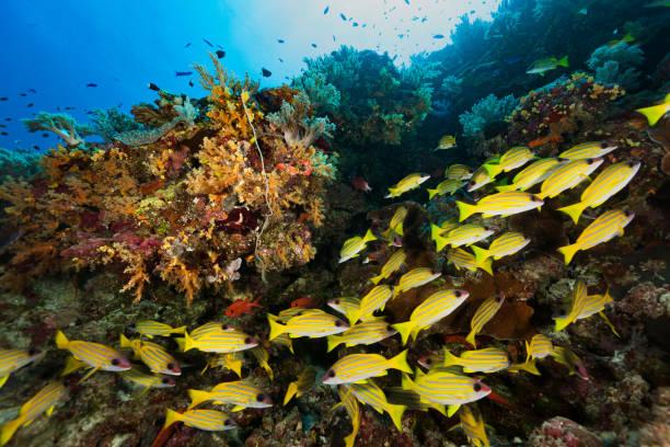 School of Common Bluestripe Snapper Lutjanus kasmira in Soft Coral Paradise, Palau, Micronesia stock photo