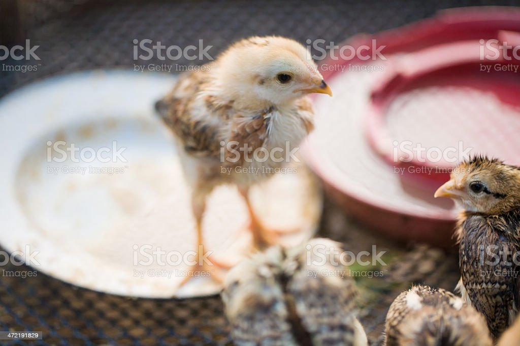 School of Cute Chicks royalty-free stock photo