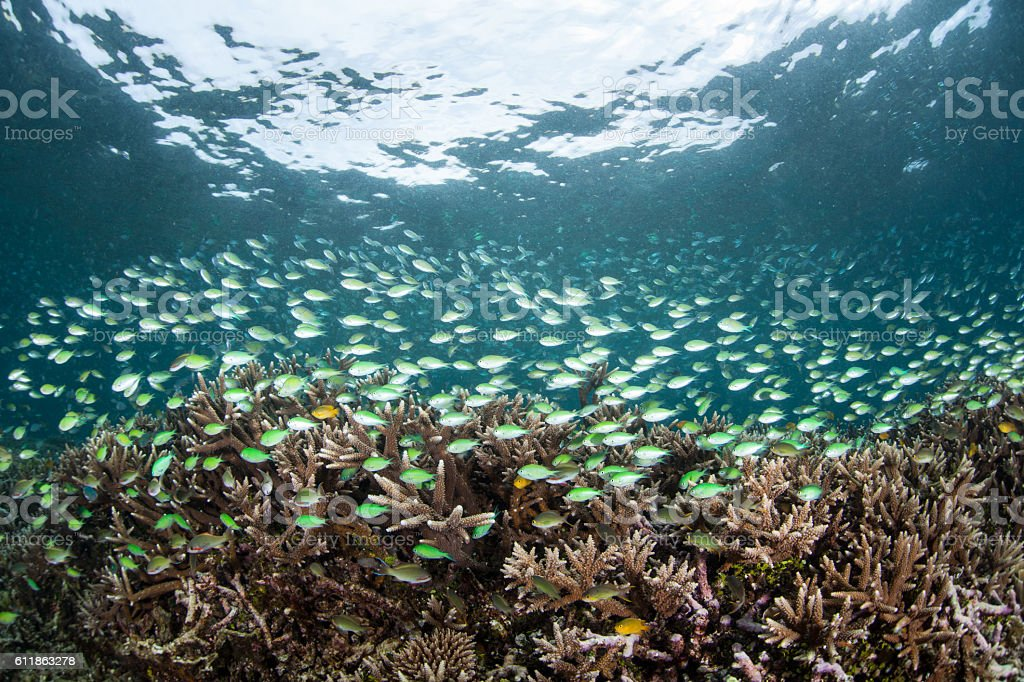 School of Damselfish and Reef stock photo