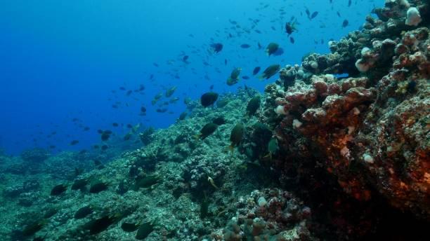School of Damselfish swimming in coral reef, Japan stock photo