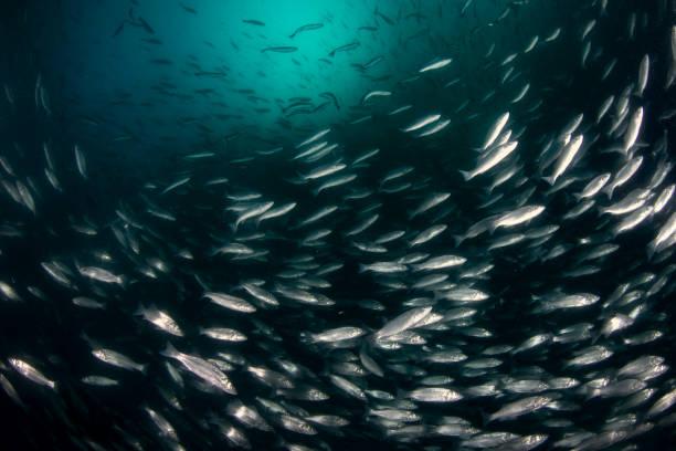 Escuela de mar mediterránea lubina europea (Dicentrarchus labrax). - foto de stock