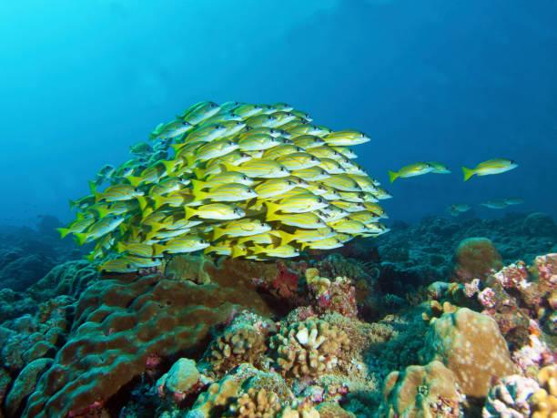 Fischschule, Bluestripe Snapper an einem Korallenriff in Palau, Mikronesien – Foto