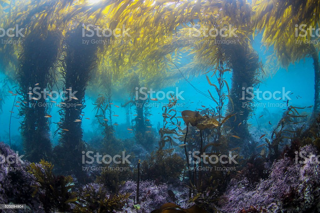 School of Fish in an Underwater Kelp Forest stock photo