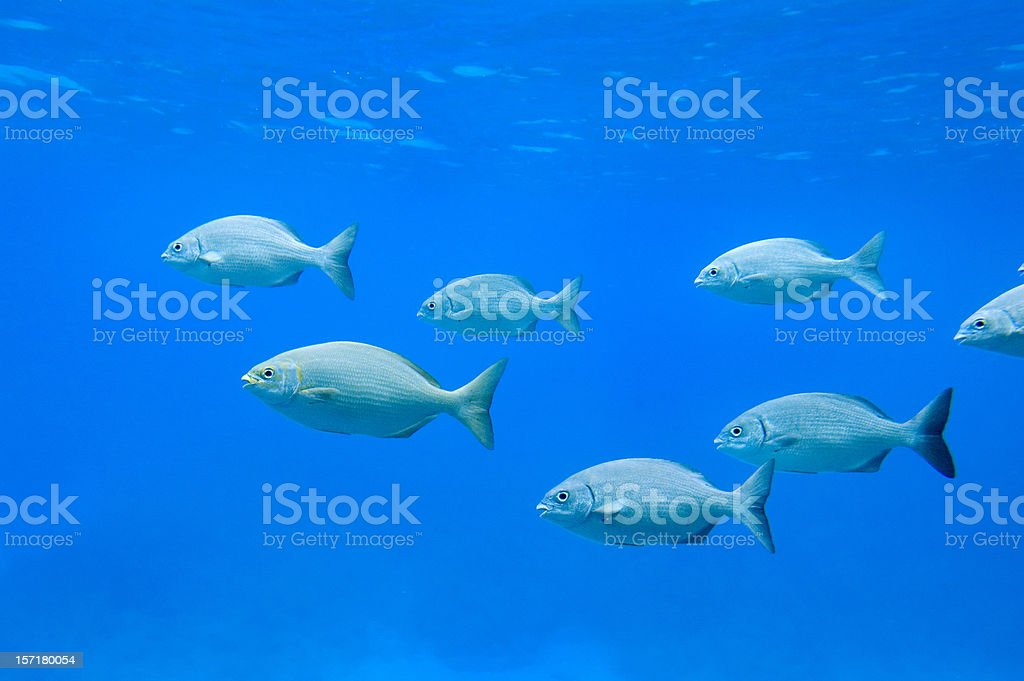 School of fish in nature royalty-free stock photo