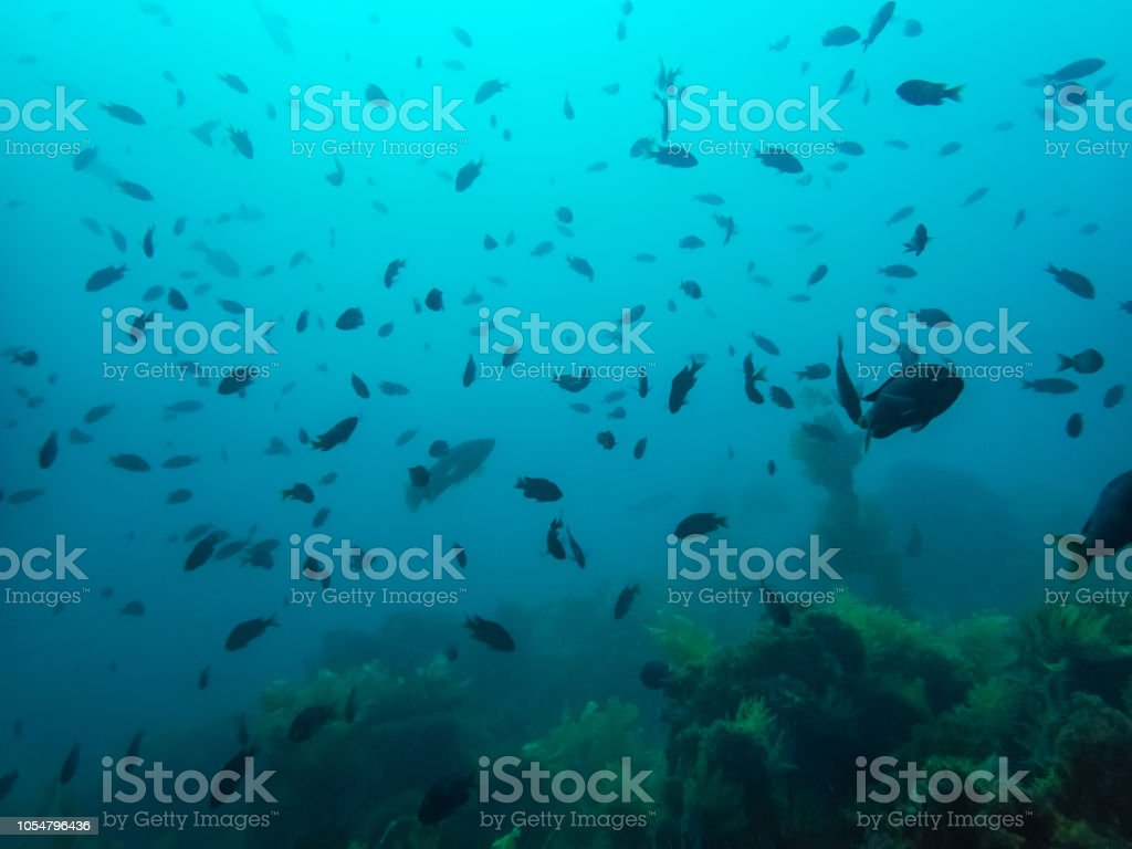 School of fish over kelp forest in blue ocean water background stock photo