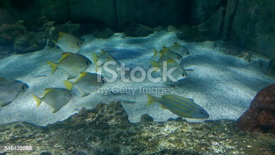 School of silver and yellow fish underwater.