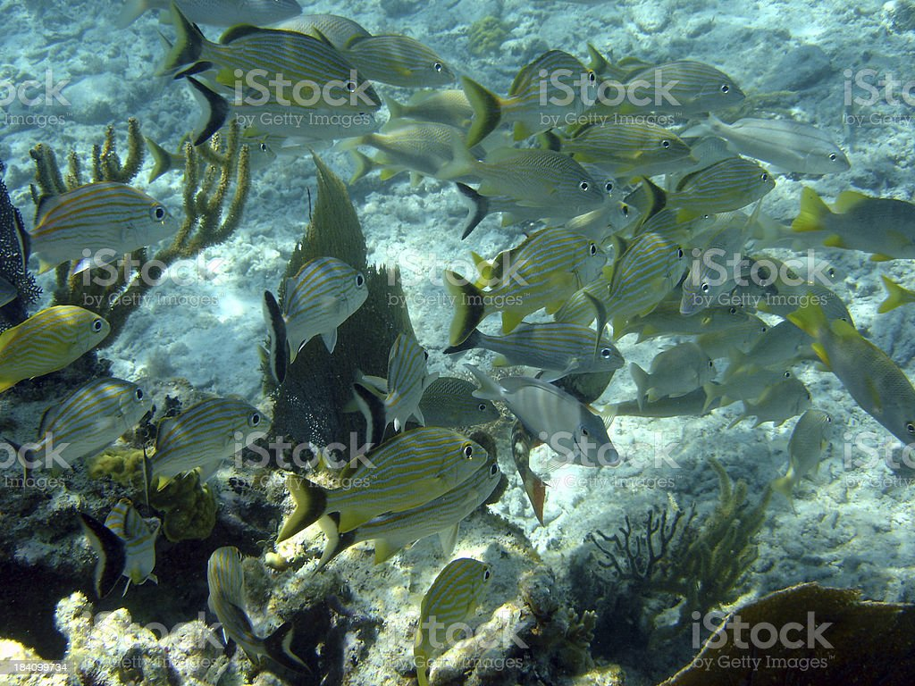 School of Fish Reef royalty-free stock photo