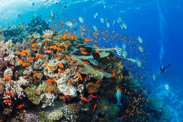 School of fish Sergeant major Coral reef   Sea life  Underwater photo Scuba Diver Point of View. Female scuba diving in background. stock photo