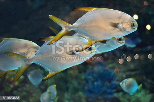 school of fish with silver body and yellow flippers similar to platax or Pomfret in salwater aquarium