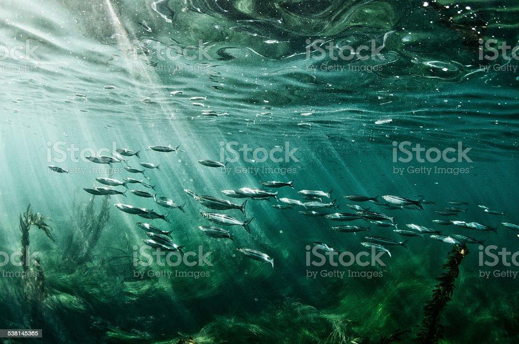 School of fish swim in the pacific ocean stock photo