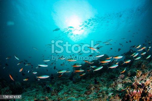 barracuda,caranx,snapper, school of fish, underwater tropical fishes, ocean life,