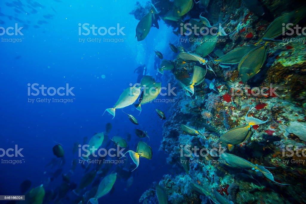 School of fish - Unicornfish stock photo